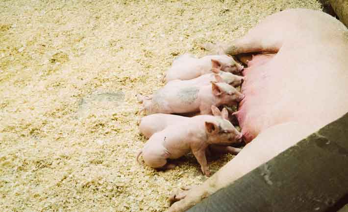 how-to-start-a-piggery-business-in-the-philippines
